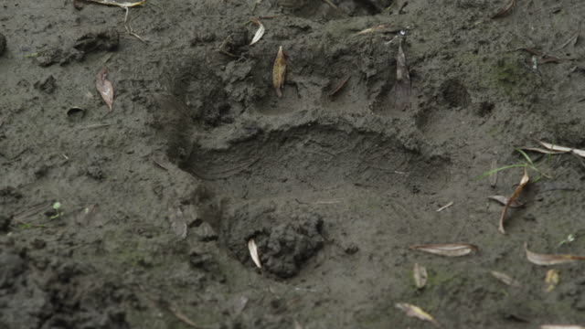 bear's paw print in mud, kamchatka, 2009 - paw print stock videos & royalty-free footage