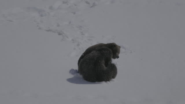 vídeos y material grabado en eventos de stock de bears playing on snow in kamchatka, russia - parte del cuerpo animal