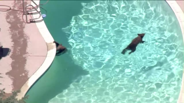 bears roam around pasadena neighborhood go for swim in backyard pool - b roll stock videos & royalty-free footage