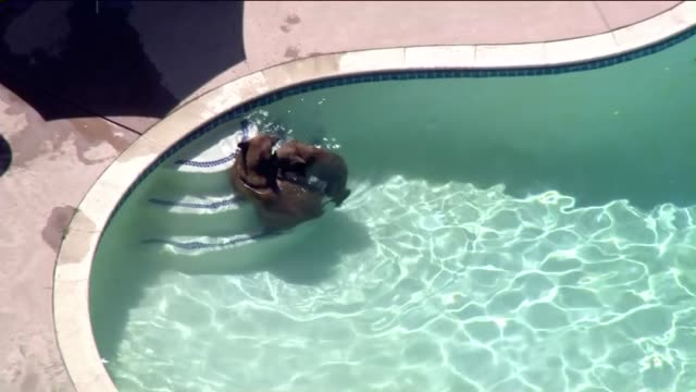 Bears Roam Around Pasadena Neighborhood Go for Swim in Backyard Pool
