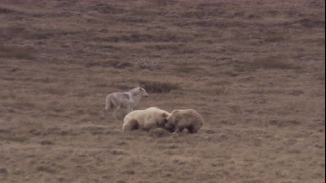bears scavenge a wolf's caribou kill in nunavut, canada. available in hd. - dead animal stock videos and b-roll footage