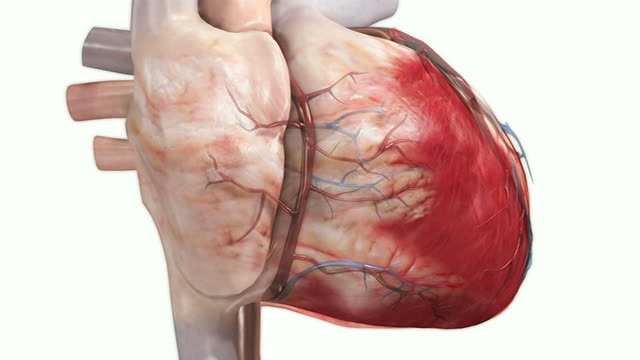 beating heart - papillary muscle stock videos & royalty-free footage