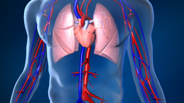 stockvideo's en b-roll-footage met beating human heart with blood flow - anatomie