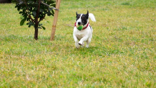 beautiful active dog of jack russell terrier breed runs on camera - collar stock videos & royalty-free footage
