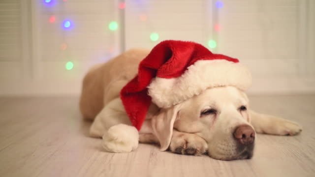 beautiful adult labrador in a cap of santa claus - hat stock videos and b-roll footage