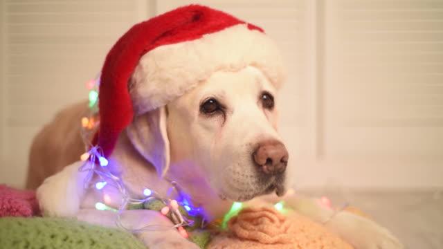 Schöne Erwachsene labrador in einem cap von Santa Claus