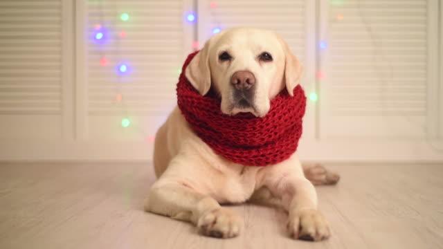 schöne erwachsene labrador in einen roten schal. - kopfbedeckung stock-videos und b-roll-filmmaterial