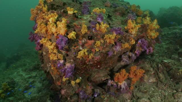 台湾の海の美しくカラフルなコルトソフトサンゴ - ソフトコーラル点の映像素材/bロール