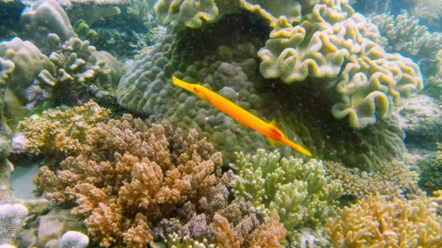 beautiful and free - trumpet fish stock videos & royalty-free footage