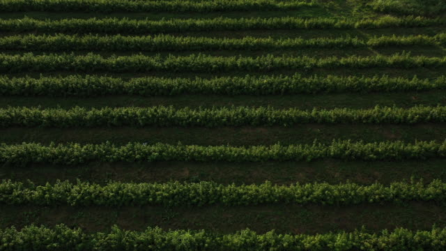 beautiful and relaxing view from above of all green raspberry plantage - brambleberry stock videos & royalty-free footage