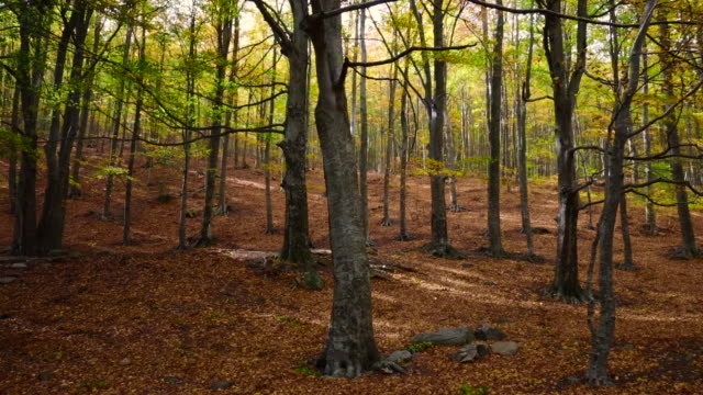 beautiful autumn forest with carpet of leafs and windy day in spain. - sedative stock videos & royalty-free footage