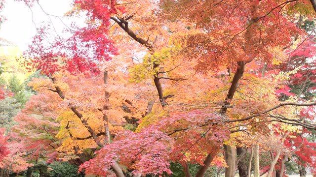 beautiful autumn leaf color of tokyo: 4k resolution - japanese maple stock videos & royalty-free footage