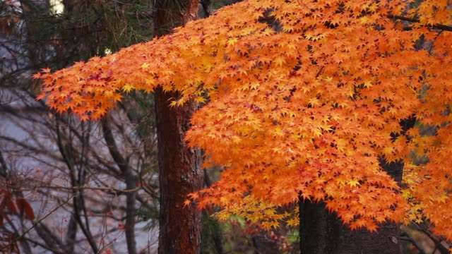 beautiful autumn leaf colors in japan - satoyama scenery stock videos & royalty-free footage
