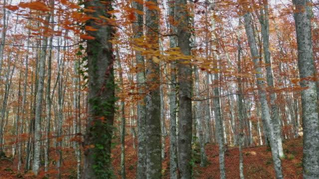 vídeos de stock, filmes e b-roll de árvores bonitas do outono - faia árvore de folha caduca
