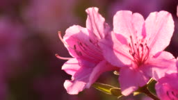 Beautiful back light over the azalea flower
