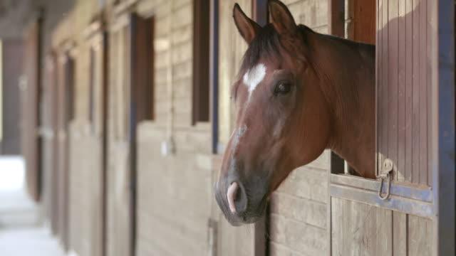 LD wunderschöne Bucht Pferd schaut aus dem stable