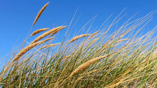 Beautiful beach with reed in the wind, 2 clips