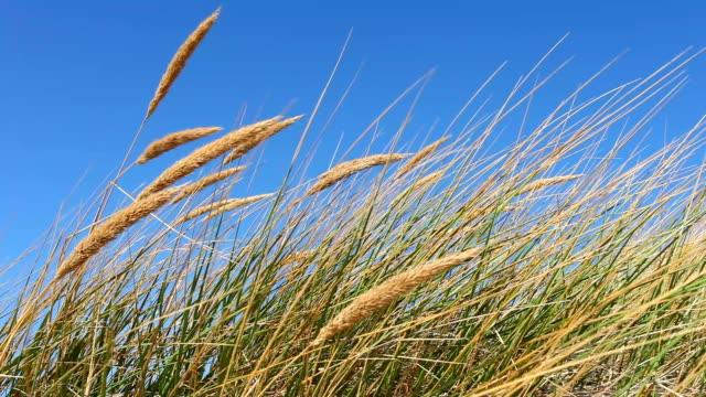 Schöner Strand mit Schilfrohr im Wind, 2 clips