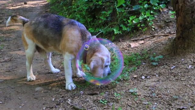 beautiful beagle dog with bubble protection against insects and illnesses. leishmaniasis. - 虫除け点の映像素材/bロール
