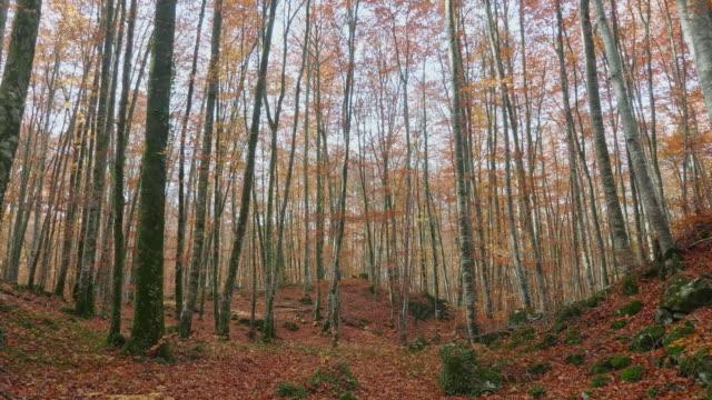 vídeos de stock, filmes e b-roll de árvores de faia bonitas no outono - faia árvore de folha caduca