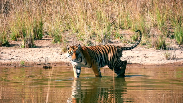 a beautiful bengal tiger (panthera tigris) drinking water - mammal stock videos & royalty-free footage