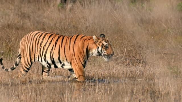 a beautiful bengal tiger (panthera tigris) in its natural habitat - rainforest stock videos & royalty-free footage