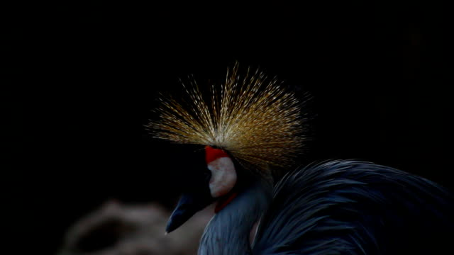 beautiful bird crowned crane in thailand - coronation stock videos and b-roll footage