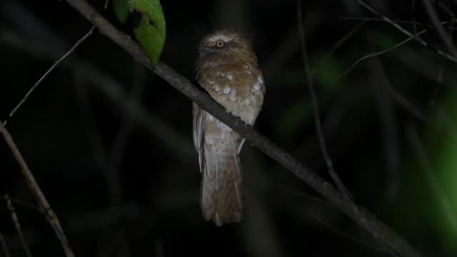 beautiful bird of hodgson's frogmouth ( batrachostomus hodgsoni ). found in real nature of northern of thailand - 長さ点の映像素材/bロール
