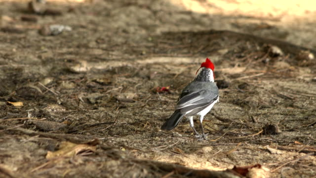 beautiful bird on forest floor of kauai island - butte rocky outcrop stock videos & royalty-free footage