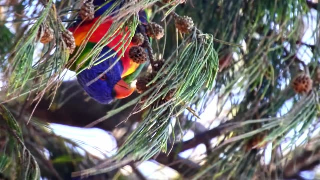 Beautiful Birds Australian Rainbow Lorikeets foraging in natural setting