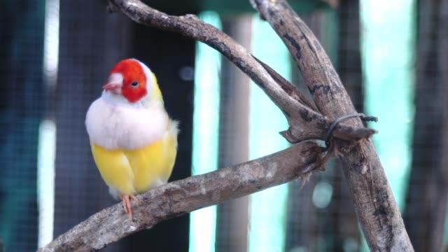 vídeos y material grabado en eventos de stock de hermosas aves guldova amadina - posición elevada