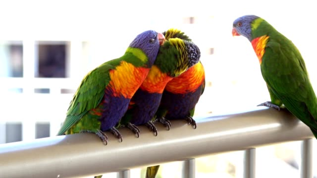 beautiful birds in 4k australian rainbow lorikeets in urban setting - 1 minute or greater stock videos & royalty-free footage