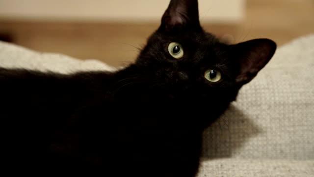 カメラを見ている美しい黒猫。 - 黒猫点の映像素材/bロール