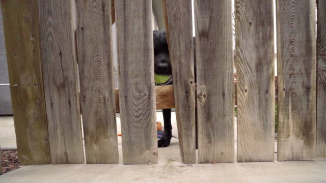 beautiful black labrador retriever dog on the other side of a cedar picket fence waiting for someone to play fetch with him throwing a tennis ball - boundary stock videos & royalty-free footage