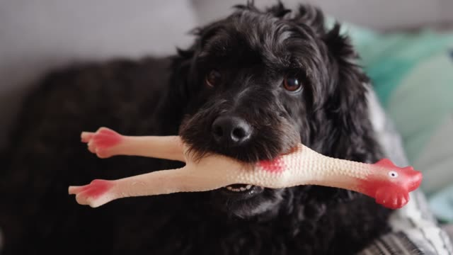 beautiful black poodle playing with chicken toy - masticare video stock e b–roll