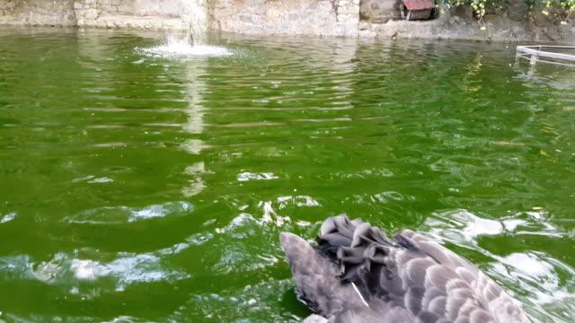 stockvideo's en b-roll-footage met mooie zwarte zwaan in vijver - knobbelzwaan