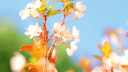 Beautiful blooming fruit tree. Full HD Video