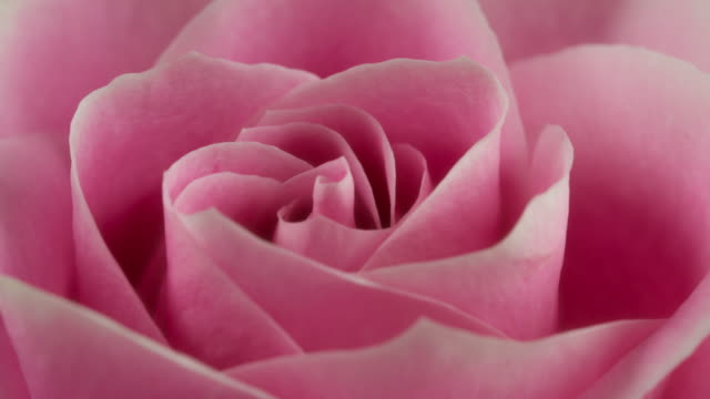 beautiful blooming pink rose closeup - single flower stock videos & royalty-free footage