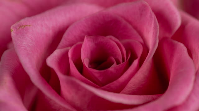 vídeos de stock e filmes b-roll de beautiful blooming pink rose closeup - cor de rosa
