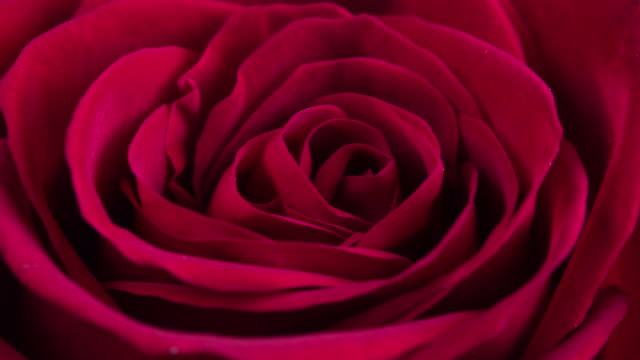beautiful blooming red rose closeup - bouquet stock videos & royalty-free footage