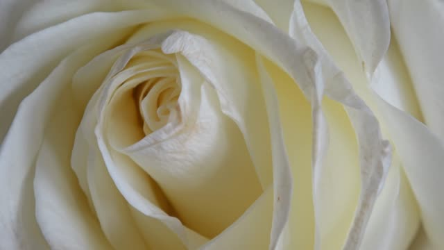 beautiful blooming white rose closeup pan - floral pattern stock videos & royalty-free footage