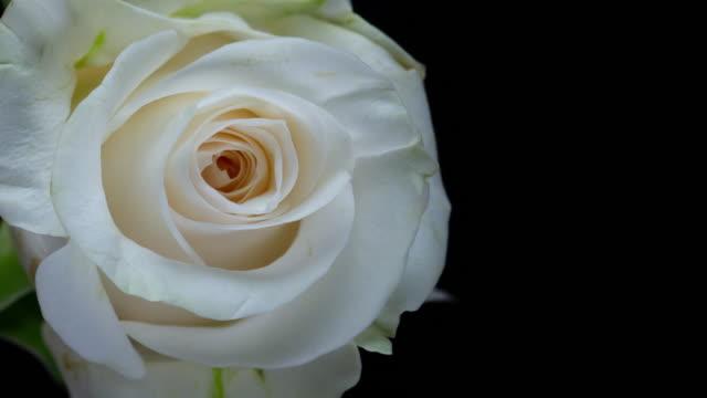 stockvideo's en b-roll-footage met mooie bloeiende witte rose-closeup - bloemenmotief