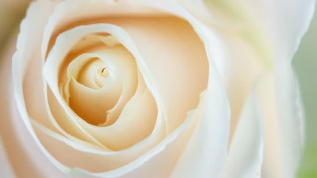 schöne blühende weiße rose nahaufnahme - rose stock-videos und b-roll-filmmaterial