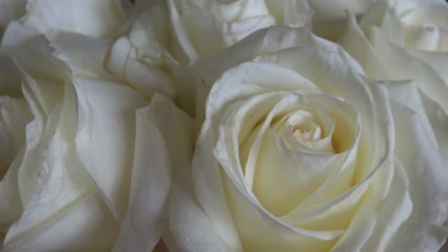 stockvideo's en b-roll-footage met mooie bloeiende witte rozen closeup - bloemenmotief
