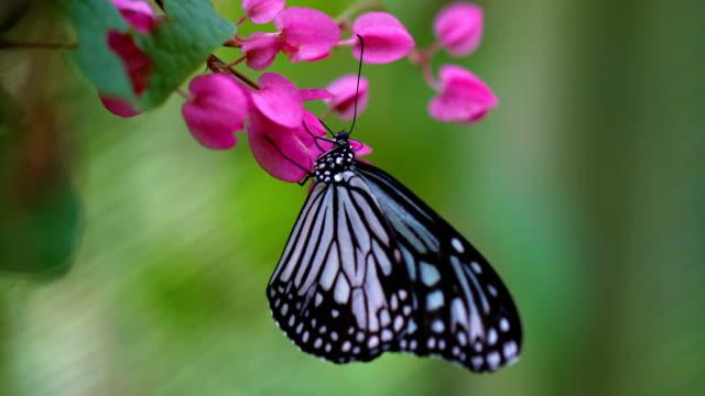 stockvideo's en b-roll-footage met prachtige blauwe vlinder op roze bloem in tuin, 4k. - vlinder
