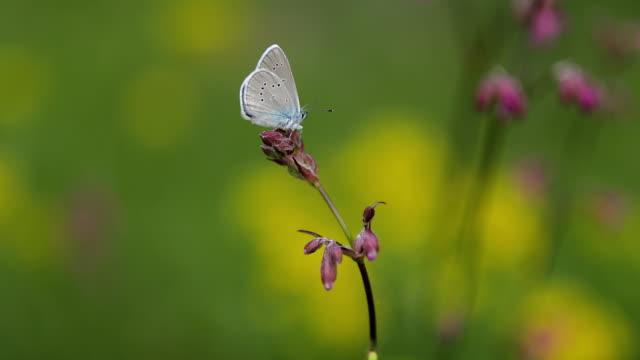 vídeos y material grabado en eventos de stock de hermosa mariposa azul en flor rosa - mariposa lepidópteros