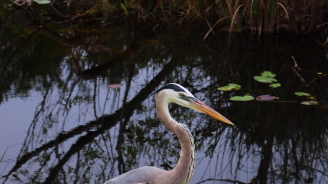 beautiful blue heron bird in the everglades national park. - swamp stock videos & royalty-free footage