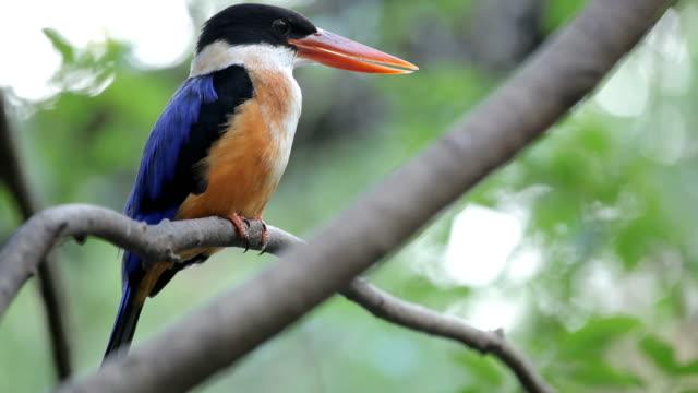 beautiful blue kingfisher bird - galapagos islands stock videos & royalty-free footage