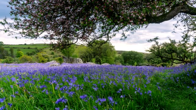 beautiful bluebell time-lapse - dartmoor stock videos & royalty-free footage