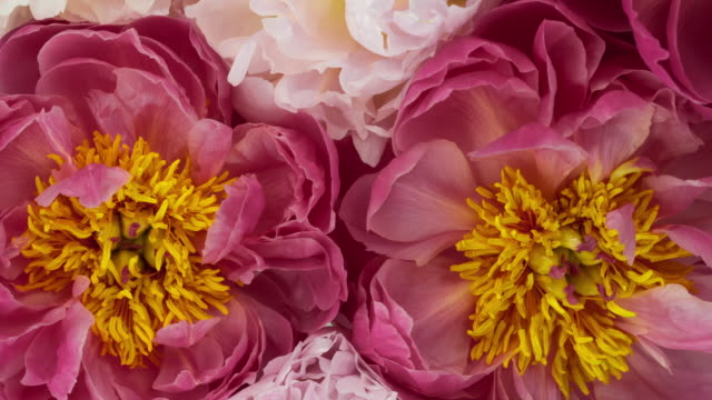 beautiful bouquet of blooming peony flowers. - floral pattern stock videos & royalty-free footage